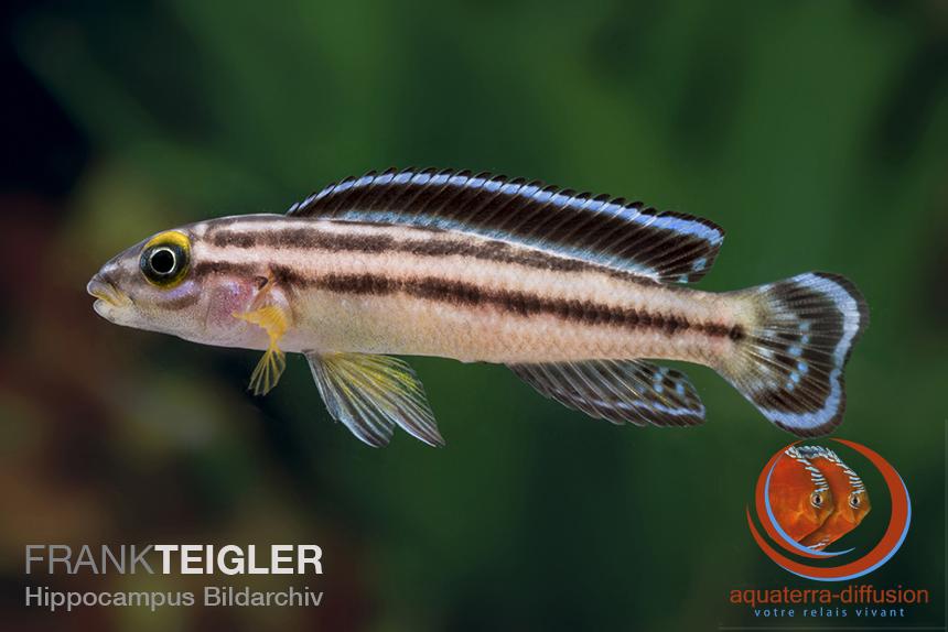 Description récente, Julidochromis marksmithi
