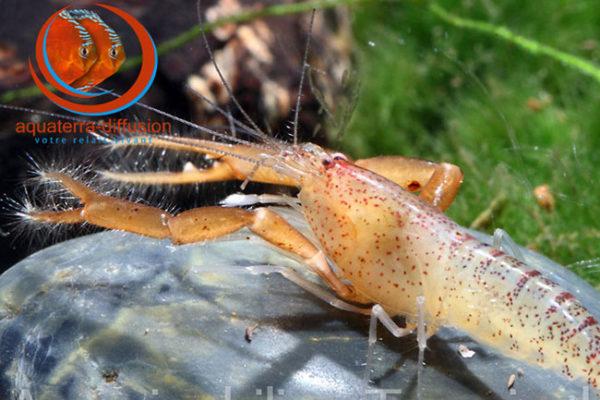 crevette rare d'Amérique du Sud