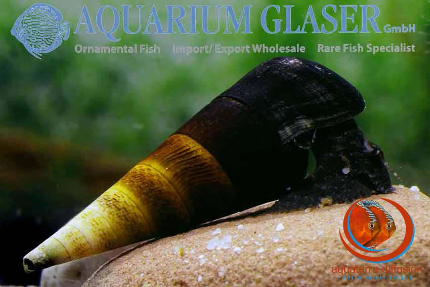 Faunus ater, l'escargot idéal de votre aquarium