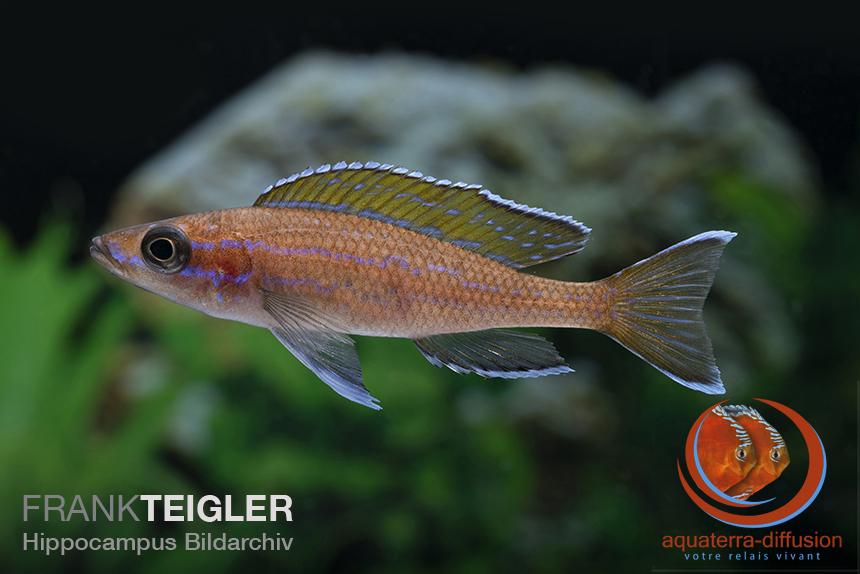 Paracyprichromis nigripinnis BLEU NÉON