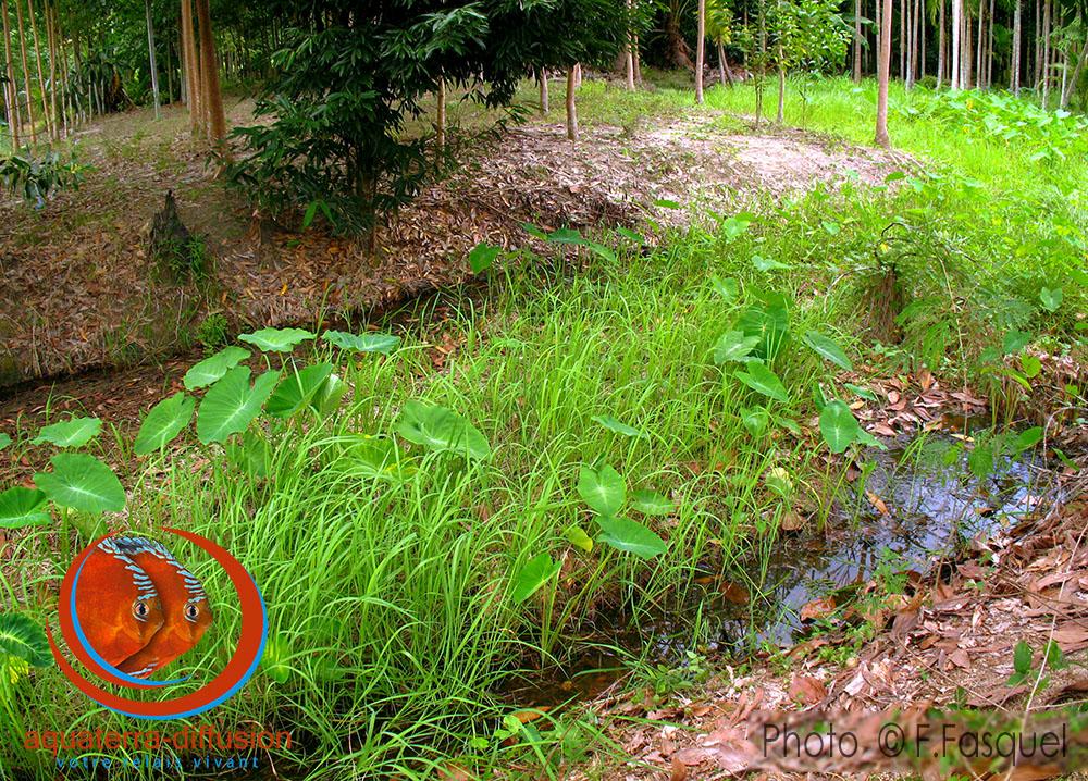 Biotope de pêche à proximité de Rayong de Betta splendens