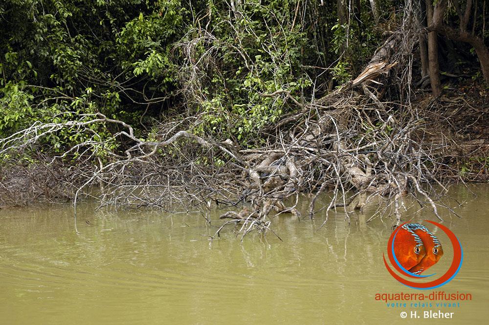 Habitat de Symphysodon aequifasciatus dans le Rio Jutai