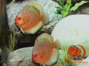 Discus Green Angel