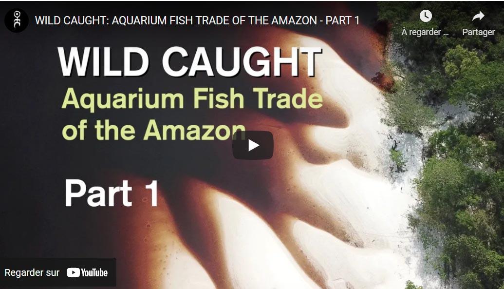 Vidéo sur le commerce des poissons en Amazonie